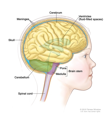 Brain Anatomy of the Child: Lateral View
