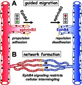 ephrin-B2